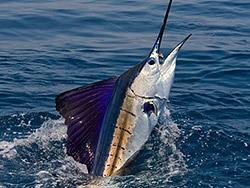 Sailfish 3